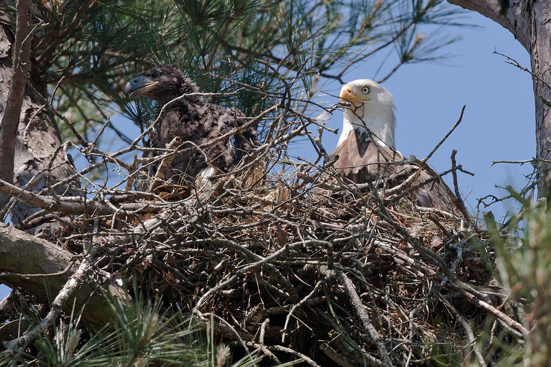 My last photo of Shiloh Eaglet made on May 7, 2010 the day before both of the Eaglets fell from nest and died.  The Eaglet was 40 days old.