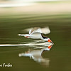 Skimmer fishing<br /> Skimmer fishing in the Rio Negro, Pantanal, Brazil