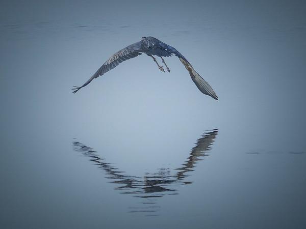 Great Blue Heron's Mirrored Flight