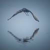 Great Blue Heron's Mirrored Flight