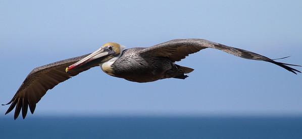 Brown Pelican in Flight - Carslbad