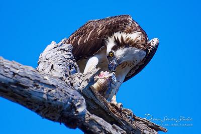 Osprey Feeding on a Fish