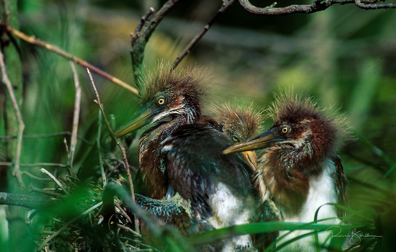 Young heron chicks, Ding Darling
