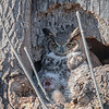 Great Horned Owl Mom with Owlet