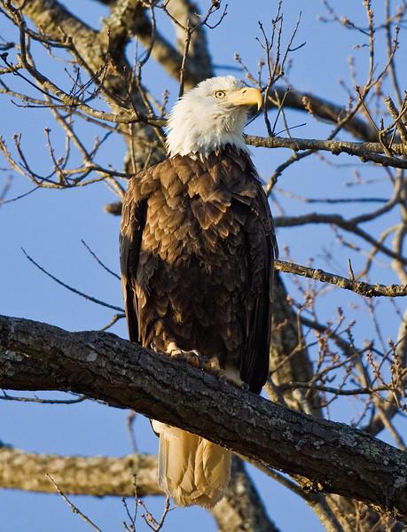 Bald Eagle Perched