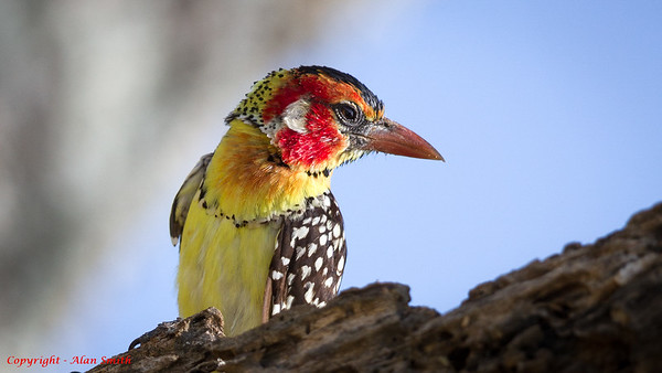 Barbet - Red-and-yellow Barbet