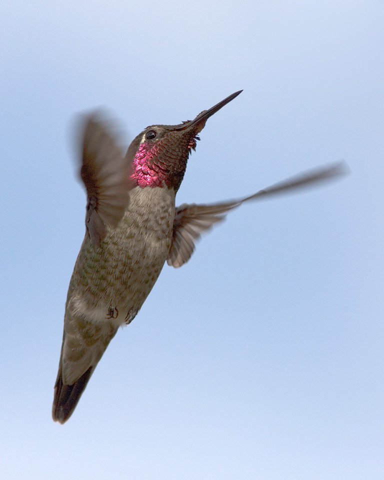 Anna's Hummingbird with His Colors