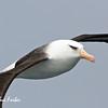 Beady eye<br /> Campbell Albatross near New Zealand's sub-antarctic Campbell Island
