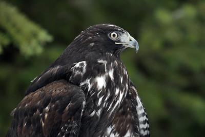 """""""Harlan's Morph Hawk"""""""
