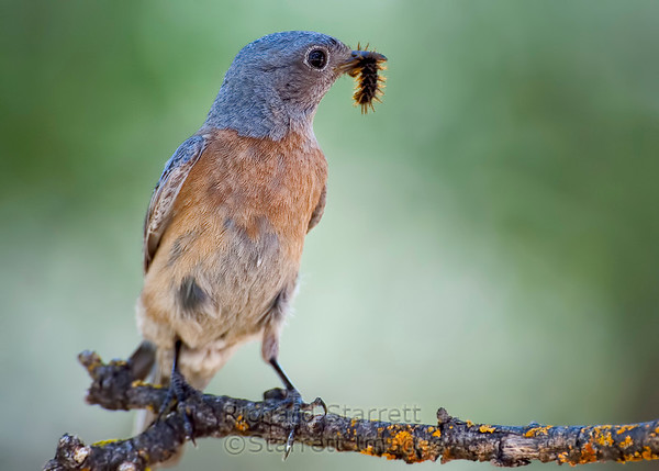 Female western bluebird, caterpillar for the kids.