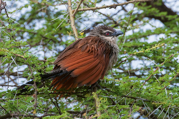 Burchell's Coucal (Whitebrowed Coucal) Ngorongoro Crater, Tanzania.  Tanzania Safari 15th-21st May 2010.  Photo by: Stephen Hindley