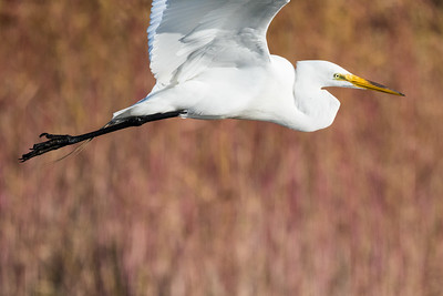 Great Egret-2980