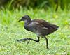 Juvenile Moorhen,  London Wetland Centre