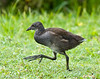 Juvenile Moorhen,  London Wetland Centre