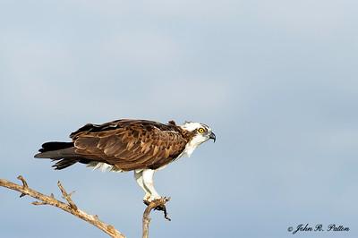Osprey on branch