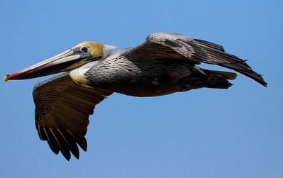Brown Pelican in Flight - Carlsbad, CA