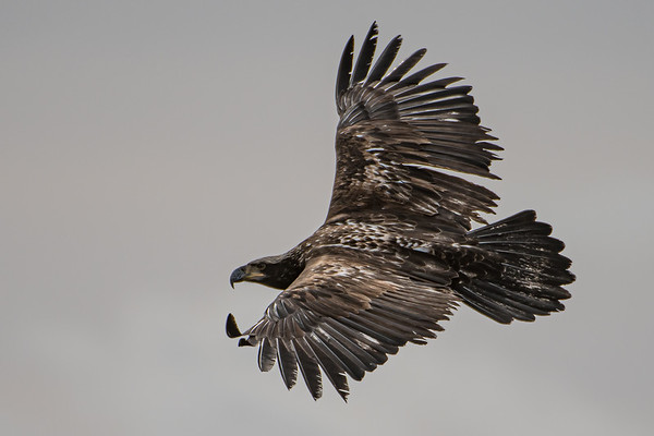 Jevenile bald eagle in flight around the summit of Mt. Maxwell on Salt Spring Island, BC.  24 Feb, 2021.  Photo by: Stephen Hindley©
