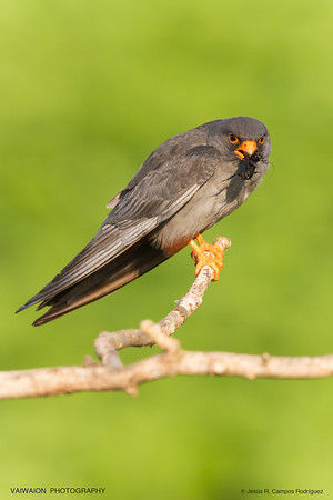 Red-footed falcon and a prey at its peak.
