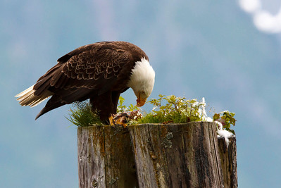 This bald eagle was captured in Seward, Alaska.  He is eating a fish carcass that was exposed during low tide.