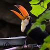 Toucan Eating