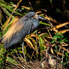 Tri-colored heron with chicks