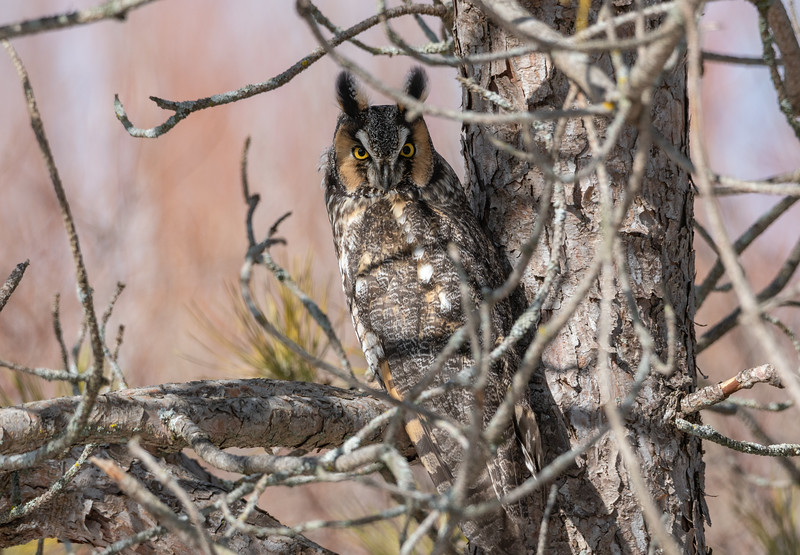 Alert Long Eared Owl