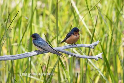 Barn Swallows-6876