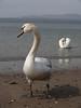 Swans at Ganavan Sands, Oban.<br /> 9th April 2011.
