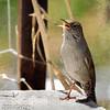 house wren song II