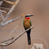 Zambia - White-Fronted Bee-Eater, South Luangwa National Park