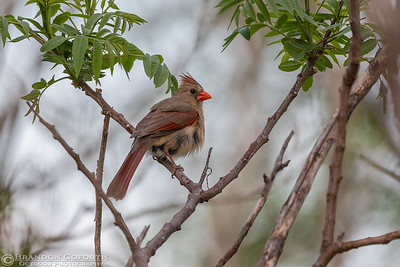 Northern Cardinal 2 (female)