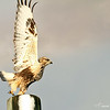 Lift Off...a Rough Legged Hawk