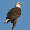Perched eagle Waterloo, AL 2010