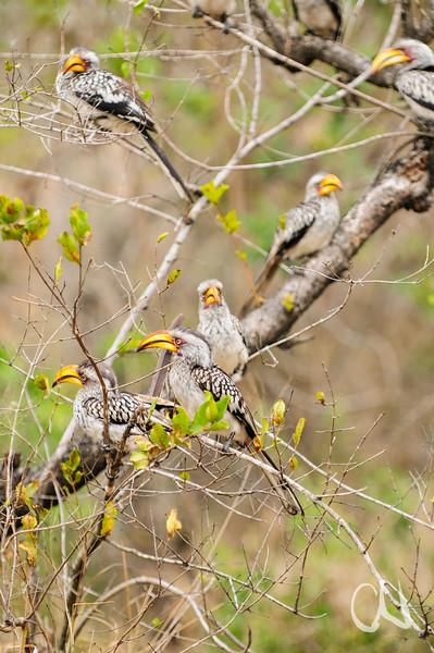 eine Gruppe Südlicher Gelbschnabel-Tokos in einem Busch, group of Southern Yellow-billed Hornbill (Tockus leucomelas), Krüger-Nationalpark, Kruger National Park, South Africa, Südafrika