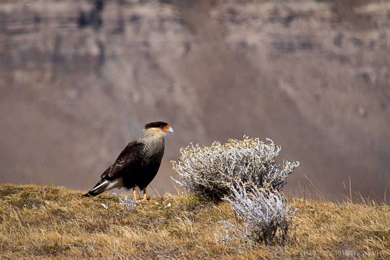 Crested Caracara - one of the common birds of prey in Argentina