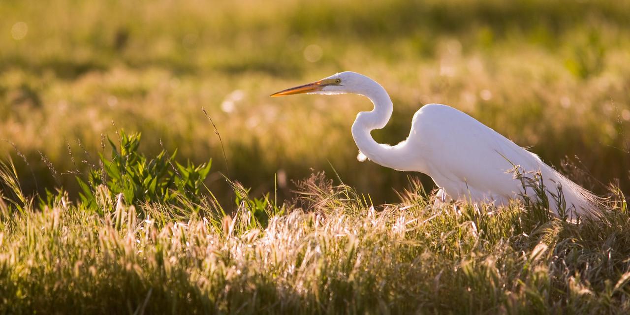 Stalking Great Egret