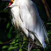 Great Egret with orange feet