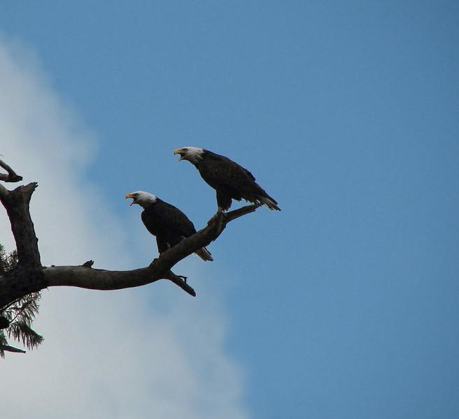 Eagles over Lake Marion