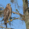 Red-shouldered Hawk (Buteo lineatus)