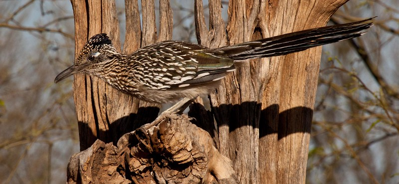 This super friendly roadrunner kept moving around in front of me, would stop to pose, then move a couple feet and stop to pose again.