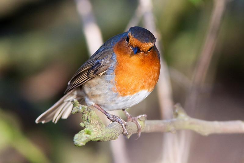 Robin, Cannock Chase