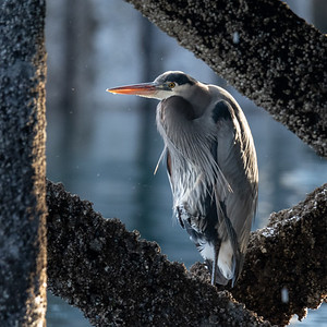 Great Blue Heron - Bainbridge Island