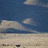 Vogel Strauß, Ostrich, karoo desert, Struthio camelus, Karoo National Park, Südafrika, South Africa