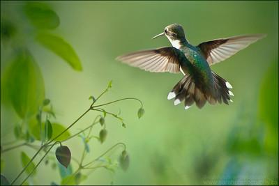 Ruby-Throated Hummingbird  Archilochus colubris