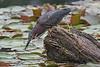 Image #2025<br /> Green Heron ~ Reinstein Woods Preserve, Western N.Y.