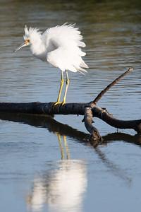 Snowy Egret-3076