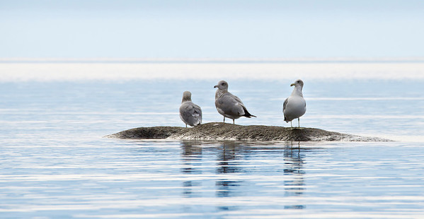 Gulls at Tahoe
