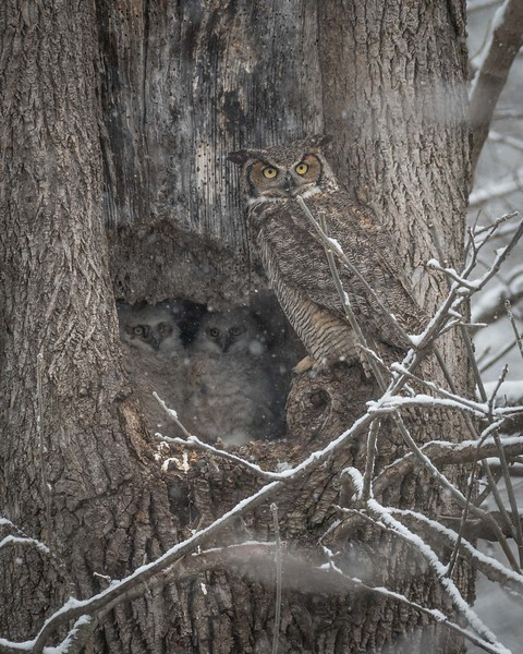 Great Horned Owl Family Portrait