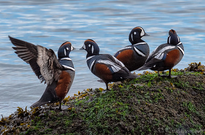 Harlequin Ducks this morning on Bainbridge Island.
