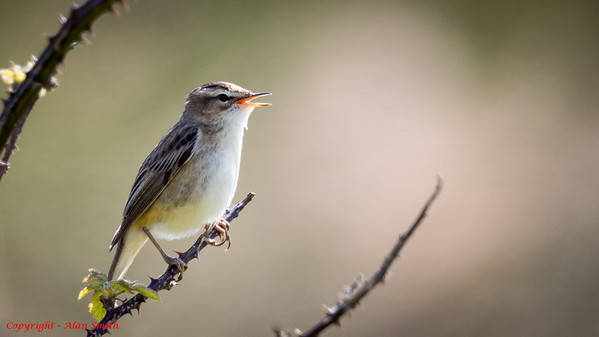 Warbler - Sedge Warbler